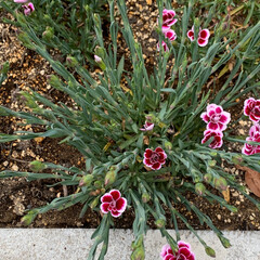ナデシコ/花のある暮らし/いいねありがとうございます 会社に勝手に植えたナデシコ。