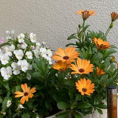 団地住まい/ベランダガーデニング/オステオスペルマム/いいねありがとうございます おはようございます。  春先、一晩外に置…