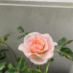 薔薇/バラ/ベランダ園芸/ベランダガーデニング/いいねありがとうございます 会社の人に頂いたバラが咲きました。  ベ…