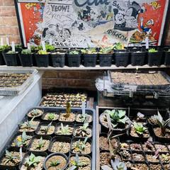 ロフト/多肉植物/照明 ベッドをロフト仕様に変えまして…下は冬越…(4枚目)