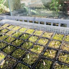 オテロイ/パキコルムス/アルブカ/エボリスピナ/チタノタドワーフ/バリダ/... 種から育てる。  実生も多肉植物の醍醐味…(3枚目)