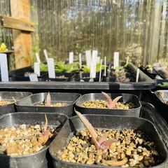 オテロイ/パキコルムス/アルブカ/エボリスピナ/チタノタドワーフ/バリダ/... 種から育てる。  実生も多肉植物の醍醐味…(2枚目)
