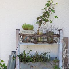 庭つくり/庭/アイビー/ガーデニング/ガーデン雑貨/ガーデンディスプレイ/... 庭のアイビーを剪定後、根っこ育成中。