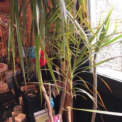 LIMIA手作りし隊 ドラセナの葉を編み込みました。