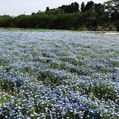 グリーン いま流行りの?青いお花畑💙涼し気に咲いて…