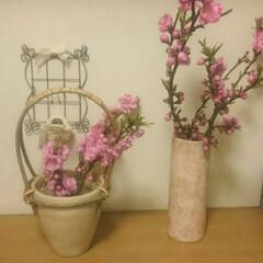 やまもも/玄関 やまももが咲き過ぎてます!