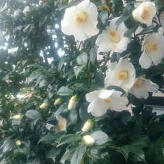 白椿 めちゃ咲き始めました💓 雨に当たると落ち…