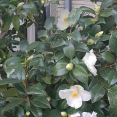 白椿 庭の白椿です✨  先日の雨でかなり花が落…