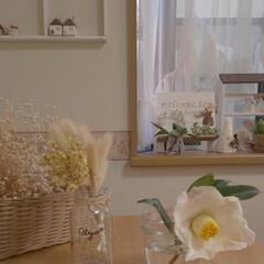 白椿/住まい/暮らし 庭の白椿が咲き始めました🌸 第一号です💞