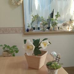 白椿/ナチュラルインテリア/出窓のある暮らし/インテリア 昨日の白椿💠 こんなに開きます✨  花の…