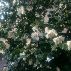 白椿 今朝の白椿🌸 次々咲いてます。