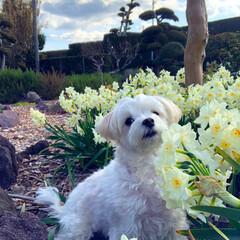 春の陽気/マルチーズ/ペット 最近春の陽気になりつつあって、お庭のお花…