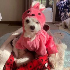 マルチーズ/ウサギの着ぐるみ/ファッション ウサギの着ぐるみを無理やり着せられるエマ…
