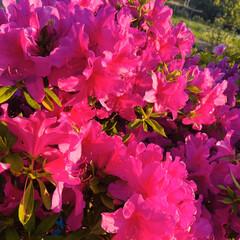 ご近所さんの花/ツツジ/お花 数日前の写真ですが、 ご近所さんのツツジ…