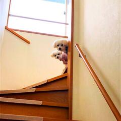 日常/マルチーズ 2階から覗くチビたち みるく&エマ「下で…