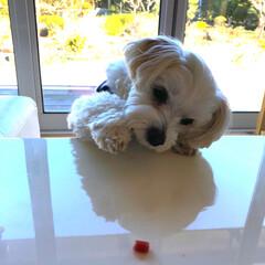 エマはネコ/マルチーズ テーブルの上のおやつを狙うエマ 頑張れ(…