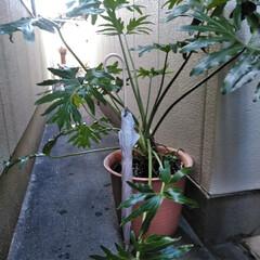 玄関/グリーン/クッカバラ/ナチュラル/観葉植物  こんにちは(*^^*)  この子は約1…