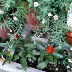 フォロー大歓迎/LIMIAファンクラブ/至福のひととき/暮らし/セリア 春のお花も終わったので 植え替えしました…(6枚目)