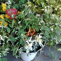 ガーデニング/花  こんにちは(*^^*)  少し前に植え…