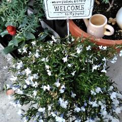 フォロー大歓迎/LIMIAファンクラブ/至福のひととき/暮らし/セリア 春のお花も終わったので 植え替えしました…(3枚目)