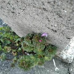 お花 コンビニの駐車場に😄 ホトケノザが咲いて…