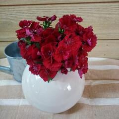 花のある暮らし/春のフォト投稿キャンペーン/フォロー大歓迎/雑貨 秋に植えた撫子が満開に なりました🎶🎶 …