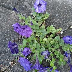 フォロー大歓迎/LIMIAファンクラブ/至福のひととき/暮らし/セリア 春のお花も終わったので 植え替えしました…(4枚目)
