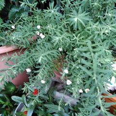 フォロー大歓迎/LIMIAファンクラブ/至福のひととき/暮らし/セリア 春のお花も終わったので 植え替えしました…(7枚目)