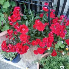 花のある暮らし/春のフォト投稿キャンペーン/フォロー大歓迎/雑貨 秋に植えた撫子が満開に なりました🎶🎶 …(2枚目)