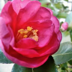 リミアの冬暮らし/暮らし/フォロー大歓迎  こんにちは(*^^*)  山茶花が咲き…
