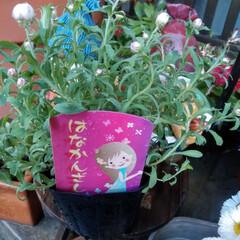 花かんざし 昨日たまたま 花かんざしを見つけましたʕ…
