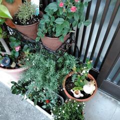 フォロー大歓迎/LIMIAファンクラブ/至福のひととき/暮らし/セリア 春のお花も終わったので 植え替えしました…(2枚目)