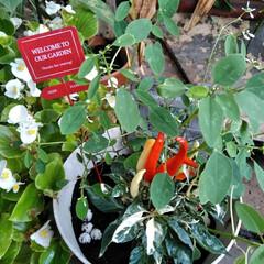 とうがらし/寄せ植え/季節インテリア  こんにちは(*^^*)  新しい寄せ植…