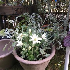 ホワイト/ラムズイヤー/フランネルフラワー/シロタエギク/寄せ植え/ガーデニング 今日は気に入った鉢を見つけたので、以前白…
