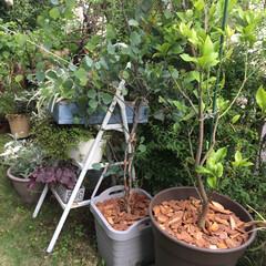 植え替え/レモン/ユーカリポポラス/ガーデニング/グリーン 今日は大物の植え替えしてましたー♪ 何故…