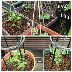 小玉スイカ/ピーマン/ナス/きゅうり/大玉トマト/ミニトマト/... 今日は夏野菜 を植え替えしました♪ 今年…