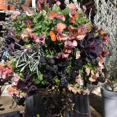 ガーデニング/スペードワイヤープランツ/アリッサム/葉牡丹/ビオラ/パンジー/... 年末に買ったお花でハンギングを作りました…