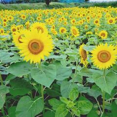 夏/癒し/風景/元気/ひまわり畑/ひまわり 我が家の前は畑 というか、畑しかありませ…