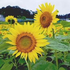 夏/癒し/風景/元気/ひまわり畑/ひまわり 我が家の前は畑 というか、畑しかありませ…(3枚目)
