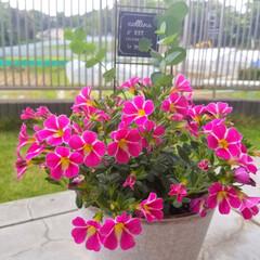 感謝の気持ち/寄せ植え/いつもありがとう/母の日/お花/フォロー大歓迎/... 昨日、お花やさんへ行き お花とプランター…
