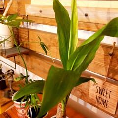 ディアウォール/インテリア/グリーン/グリーンのある暮らし/観葉植物/観葉植物のある暮らし/... 最近、ドライフラワーよりも グリーンを増…(4枚目)