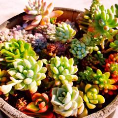 40代主婦/太陽/春/寄せ植え/お庭/クリスマスローズ/... 春らしくなってきたなぁと 思ったら、ここ…