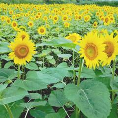 夏/癒し/風景/元気/ひまわり畑/ひまわり 我が家の前は畑 というか、畑しかありませ…(2枚目)