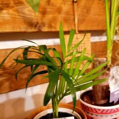 ディアウォール/インテリア/グリーン/グリーンのある暮らし/観葉植物/観葉植物のある暮らし/... 最近、ドライフラワーよりも グリーンを増…(3枚目)