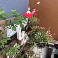 チェリーセージ/パレットガーデニングDIY/パレットガーデニング/DIY/雑貨 チェリーセージのお花 赤と白のコントラス…