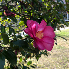 ツバキ/LIMIAおでかけ部/おでかけ/風景/おでかけワンショット 椿の花のピンクと葉っぱのグリーン  朝の…(1枚目)