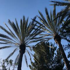 アメリカ/西海岸/オレンジカウンティ/ヤシの木/GW/おでかけ/... ヤシの木とブルースカイ バカンスって感じ…