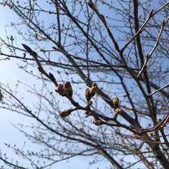 春が来た/つぼみ/桜/フォロー大歓迎/風景/春の一枚 自転車通勤している遊歩道 ふと見上げると…