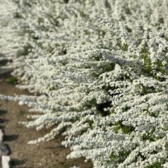 春の花/小花/フォロー大歓迎/おでかけ/風景/春の一枚/... 遊歩道に咲く白い小花  自転車通勤してい…