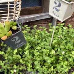 赤ちゃん多肉/パレットガーデニング/ガーデニング/DIY/雑貨/100均 グリーンの葉っぱの中に 白の小花が咲いて…